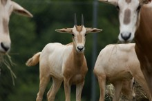 Female scimitar-horned oryx calf