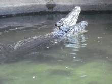 Cuban crocodiles at the Reptile Discovery Center lifting their snouts out of the water.
