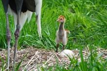 White-naped crane chick