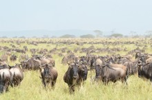 A herd of wildebeests stands in tall grass