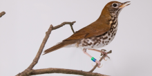 a woodthrush perched on a branch
