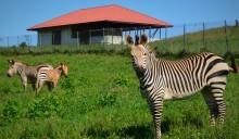 Hartmann's mountain zebra herd in their pasture at SCBI.
