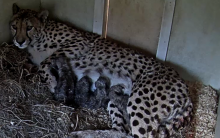 Female cheetah Echo lays in a bed of hay nursing her four, small newborn cheetah cubs