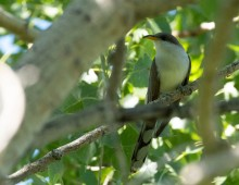 A bird, called a yellow-billed cuckoo, with a long tail and a yellow bill perches on a branch in a tree