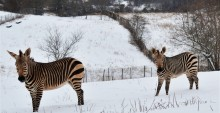 Hartmann's mountain zebra mother Mackenzie (L) and her son Yipes (R) in the snow at SCBI.