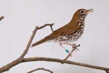Wood thrush on a branch