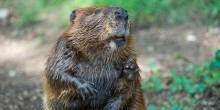 A beaver with thick, brown, wet fur, small paws and orange teeth