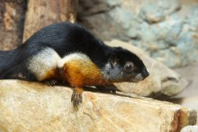 A small squirrel, called a Prevost's squirrel, with whiskers, short pointed ears and a bushy tail perched on a rock. Its thick fur is black, white and brown-red.