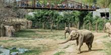 Asian elephants Maharani (foreground) and her mother Kamala (background) explore the Elephant Trails habitat.