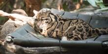 Clouded Leopard Mook
