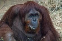 Orangutan Lucy