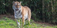 Amur tiger Nikita makes her debut at the Smithsonian's National Zoo's Great Cats Exhibit Feb. 26, 2019.