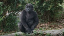 Western lowland gorilla Moke sits atop a log in the Great Ape House outdoor yard.