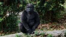 Western lowland gorilla Moke perches atop a log in his outdoor enclosure at the Great Ape House.