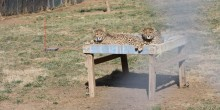 Two cheetah cubs lay on a hammock bed in their yard.