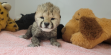 A one-week-old cheetah cub props himself up on a light pink towel. Behind and to the right of him, there is a large, brown plush dog. Further behind and to the left is a plush cheetah.