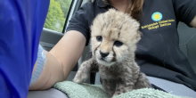 Adrienne Croiser takes a selfie of a 16-day-old cheetah cub. The cub is sitting on a light green towel in her lap. Adrienne is sitting in a car. Her right hand has a royal blue latex glove on and holds the phone taking the photo.