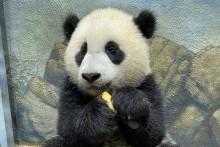 A sleepy giant panda cub Xiao Qi Ji cradles a slice of apple in his paws.