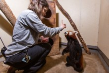 Keeper Mariel Lally asks red panda Jackie to stand on his rear feet.