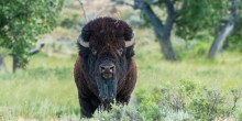 American bison on the American Prairie Reserve in Montana.