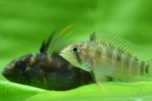 Two small banded dwarf cichlids with light stripes down their bodies and fins down their backs swim over a green leaf