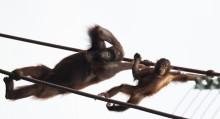 Orangutans Batang (L) and Redd (R) cross the O-Line.