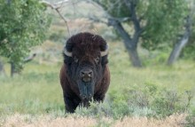 An American bison with thick, dark fur, a sturdy body, a large head and two short, curved horns stands in tall grasses on the American Prairie Reserve in Montana