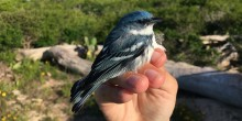 A blue and white bird, called a cerulean warbler, being held in a researcher's hand