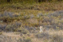 A coyote stands between grasses and shrubs at the American Prairie Reserve in Montana