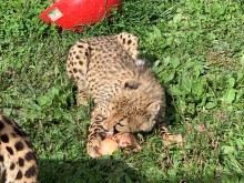 A 6.5-month-old cheetah cub enjoys a horse knuckle bone for the first time!