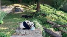 Giant pandas Mei Xiang and Xiao Qi Ji eat mom's 23rd birthday cake together.