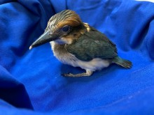 A 28-day-old female Guam kingfisher chick with colorful feathers and a large head and bill rests on a blue cloth.