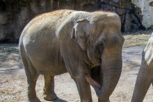 Asian elephant Shanthi at the Zoo's Elephant Trails exhibit.