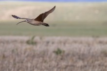 A shorebird, called a long-billed curlew, with a long, slender, curved bill, and mottled brown feathers flies over grasslands in Montana