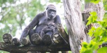Infant western lowland gorilla Moke rests in the arms of his mother, Calaya, as they sit on top of a wooden structure in their outdoor yard at the Smithsonian's National Zoo
