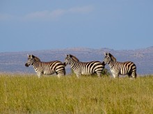 Three plains zebras stand in tall grasses in Laikipia Kenya. The zebras stand in a line, and rolling hills with trees and buildings can be seen in the background.