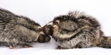 two poisonous crested rats touch nose-to-nose