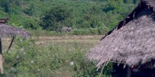 An Asian elephant with large tusks walks near houses in Myanmar