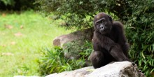 Infant western lowland gorilla Moke sits on a rock in a yard with grass and shrubs