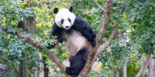 Giant panda Bei Bei stands in the branches of a tree green with foliage