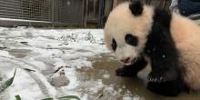 Giant panda cub Xiao Qi Ji stands near a light dusting of snow.
