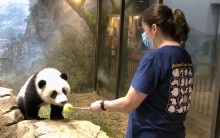 """Giant panda cub Xiao Qi Ji touches his nose to a """"target"""" training tool, held by assistant curator of giant pandas Laurie Thompson."""