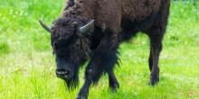 A juvenile bison walks across green grass