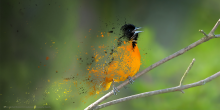 an oriole sitting on a branch appears to dissolve into the ether