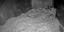 A black-footed ferret mom and her six kits rest together in a small den on a bed of chipped paper