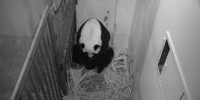 Giant panda Mei Xiang in her den cradling a cub in her fur