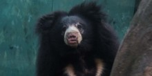 Sloth bear Remi at the Smithsonian's National Zoo's Asia Trail exhibit.