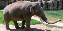 A male Asian elephant, named Spike, with large white tusks and a long trunk stands outside in the sun near a pool of water at the Smithsonian's National Zoo