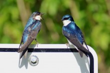 Two adult tree swallows with bright blue feathers perched on a sign. One has its mouth open in a call.