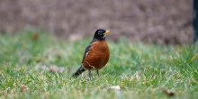 An American Robin, a small bird with a brown and black feathers and a yellow beak, stands in green grass